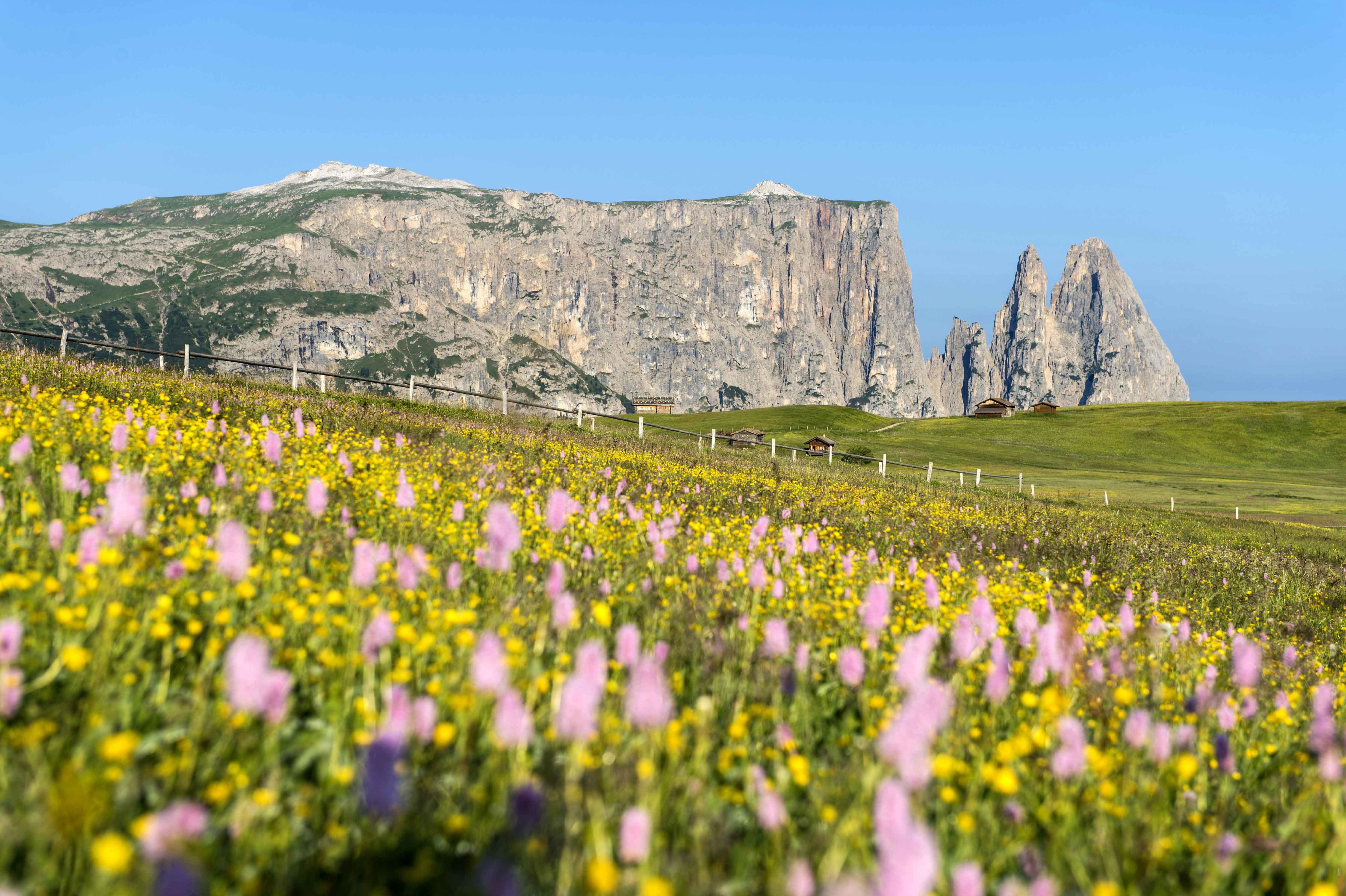 Dai pascoli fioriti dell'Alpe di Siusi, vista sul Massiccio dello Sciliar