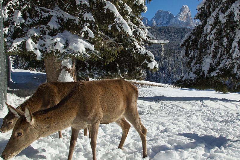 Cervi tra i boschi del Parco Naturale di Paneveggio